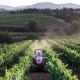 Figuière vignes 1